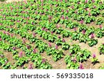 Rows Of Flowers Planted On A...