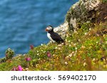 Puffin At The Edge Of A Cliff...