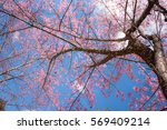 Sakura Tree With Blue Sky