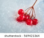 The Red Berries Of A Guelder...