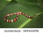 Wild Scarlet Snake In Florida