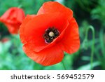 Beautiful Flowers Poppies On...