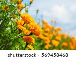 Beautiful Of Marigold With The...