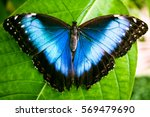Stock photo blue morpho butterfly morpho peleides 569479690