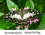 lime butterfly  papilio... | Shutterstock . vector #569479756