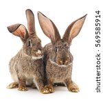 two rabbits isolated on a white ... | Shutterstock . vector #569585914