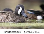 Blue-winged Teal (Anas discors).