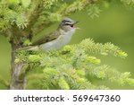 Red Eyed Vireo  Vireo Olivaceu...