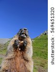 Small photo of An alpine marmot and eats with the paws