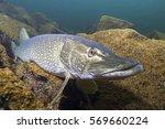 freshwater fish northern pike ... | Shutterstock . vector #569660224