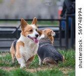 photo of welsh corgi dog family ... | Shutterstock . vector #569748994