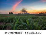 sugar cane field with sugar... | Shutterstock . vector #569801680