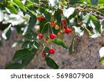 Red Cherry On Nature