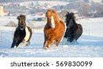 Herd Of Shetland Ponies...