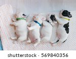 Stock photo the baby french bulldog are sleeping on the bed french bulldog 569840356