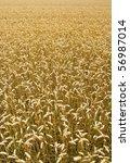 portrait view of wheat field | Shutterstock . vector #56987014
