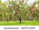 trees with red apples in an...   Shutterstock . vector #569911504