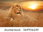 Stock photo picture of lions in grass 569956249