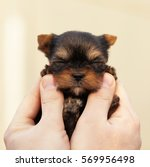 Stock photo yorkshire terrier puppy 569956498