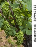 Small photo of Grapes on a vine of the Grauer Burgunder in Saale Unstrut in Germany.