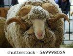portrait of white ram ... | Shutterstock . vector #569998039