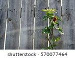 Rose Wilt In My  Garden.