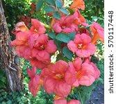 Campsis Grandiflora  Chinese...