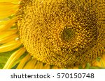 close up sunflower in the... | Shutterstock . vector #570150748