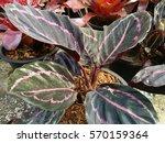 Small photo of Alocasia cucullata