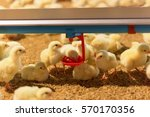 Little Yellow Chicks In Close...