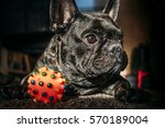 French Bulldog Playing With A...