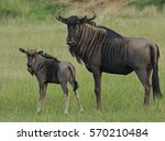 Mother And Baby Wildebeest...
