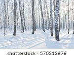 Winter Scene. Birch Forest.