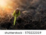 sprouted water melon growing... | Shutterstock . vector #570222319