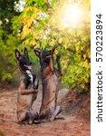 Stock photo two belgian shepherd are trained in the park belgian shepherd dog malinois 570223894