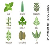 vector set of culinary herbs... | Shutterstock .eps vector #570262009