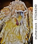 Stock photo close up of large brown cape vulture 570268240