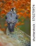 Peregrine Falcon Sitting On Th...