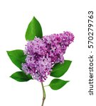 Beautiful Lilac Branch Isolate...