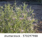 Thorny Purple Desert Flower