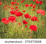 Stock photo field with poppy papaver rhoeas in spring by a sun day 570372838