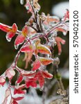frozen plants covered in a... | Shutterstock . vector #570402100
