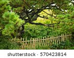 Chinese Pine Tree In The...