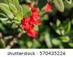 island bush snapdragon ... | Shutterstock . vector #570435226