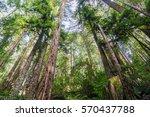 Redwood Trees  Sequoia...