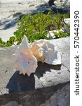 shells named conch at the beach ... | Shutterstock . vector #570442390