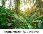 jungle greenery in tropical...   Shutterstock . vector #570448990