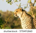 A Side View Of A Cheetah Out I...
