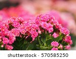 flower in pink | Shutterstock . vector #570585250