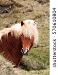 iceland horse  portrait | Shutterstock . vector #570610804